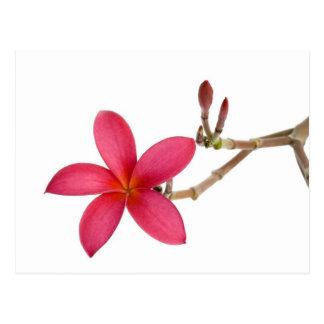 Flor roja del Frangipani Tarjetas Postales