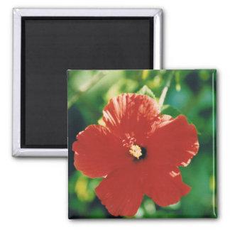 Flor roja del hibisco imán cuadrado