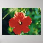 Flor roja del hibisco impresiones