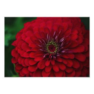 Flor roja hermosa del Zinnia del jardín Fotografia