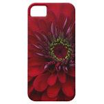 Flor roja hermosa del Zinnia del jardín iPhone 5 Cobertura