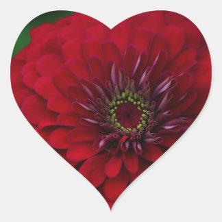 Flor roja hermosa del Zinnia del jardín Pegatina De Corazon