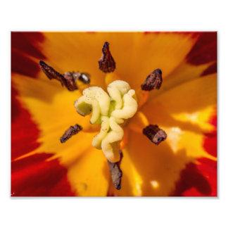 Flor roja y amarilla del tulipán fotografías