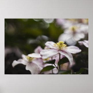 Flor rosada bonita del Clematis Impresiones