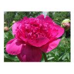 Flor rosada brillante del Peony Postal