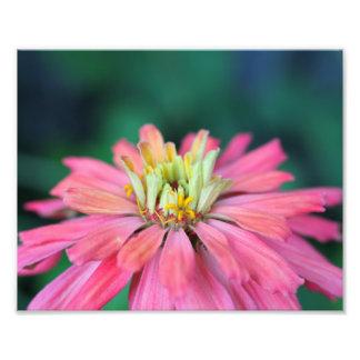 Flor rosada brillante del Zinnia Cojinete