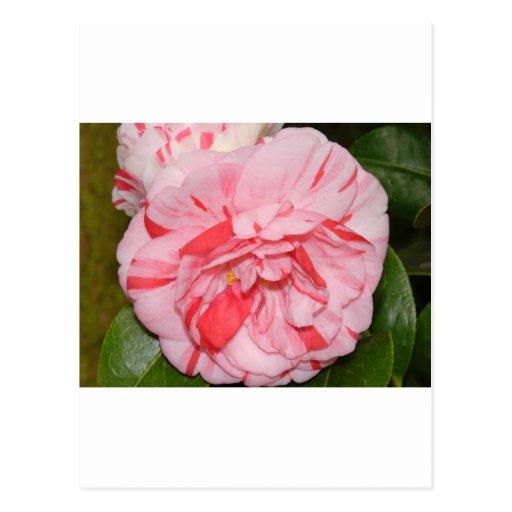 Flor rosada de Camelia Postales