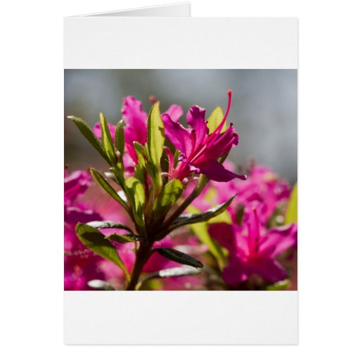 flor rosada de estallido felicitaciones