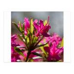 flor rosada de estallido tarjetas postales