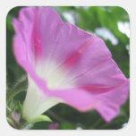 Flor rosada de la correhuela calcomanías cuadradass personalizadas