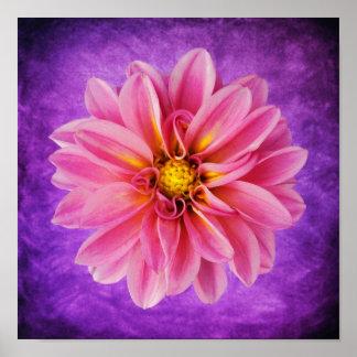 Flor rosada de la dalia en fondo púrpura de la acu impresiones