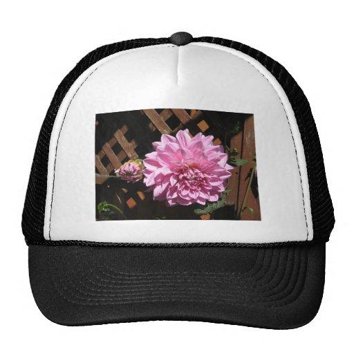 Flor rosada de la dalia gorra