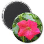 Flor rosada de la petunia iman