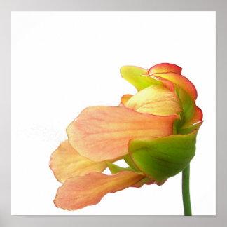 Flor rosada de la planta de jarra poster