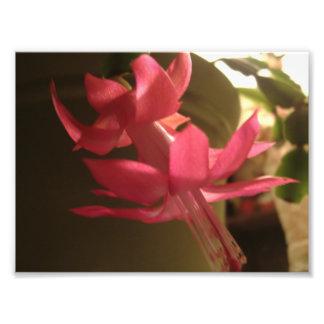 Flor rosada del cactus de navidad cojinete