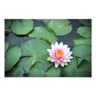 Flor rosada del cojín de lirio en la impresión fot fotografía