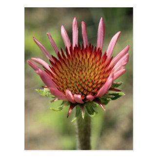 Flor rosada del cono postal