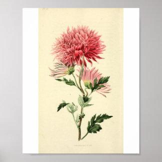 Flor rosada del crisantemo del vintage impresiones
