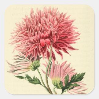Flor rosada del crisantemo del vintage calcomanías cuadradass personalizadas
