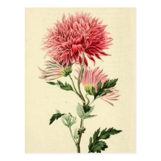 Flor rosada del crisantemo del vintage postal