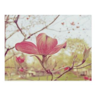 Flor rosada del Dogwood Tarjetas Postales