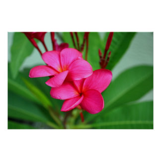 Flor rosada del Hawaiian del Frangipani del Plumer Posters