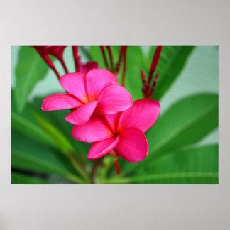 Flor rosada del Hawaiian del Frangipani del Plumer Póster