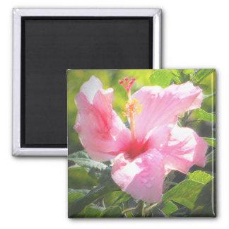 Flor rosada del hibisco imán cuadrado