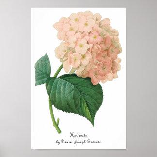 Flor rosada del Hortensia del Hydrangea del Póster