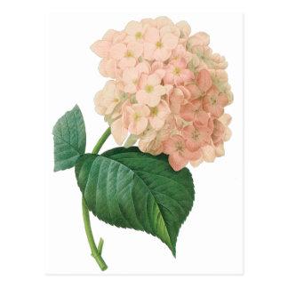 Flor rosada del Hortensia del Hydrangea del Postal