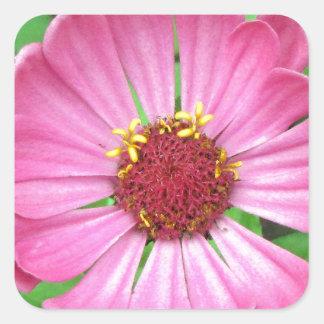 Flor rosada del jardín del Zinnia Calcomanía Cuadrada