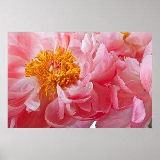 Flor rosada del Peony de la primavera - plantilla  Póster