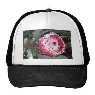 Flor rosada del protea en la floración gorro