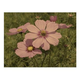 Flor rosada descolorada del cosmos de la aparienci tarjetas postales