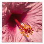 Flor rosada macra del hibisco fotografías