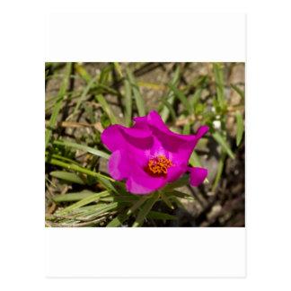 Flor rosada magenta de la amapola postales