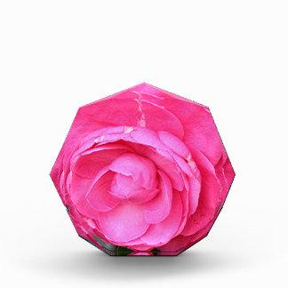Flor rosada oscura de la camelia en la floración