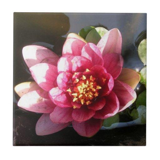 Flor rosada oscura Sunlit del lirio de agua Azulejo Cuadrado Pequeño