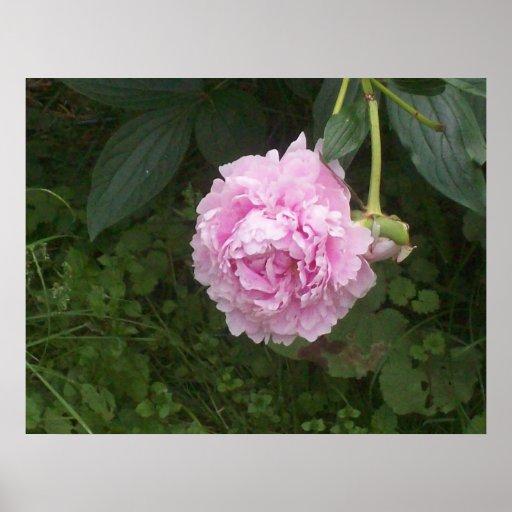Flor rosada poster