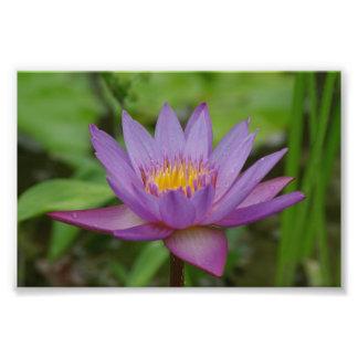 Flor rosada púrpura del lirio de agua fotografías