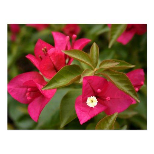 flor rosada/púrpura postal