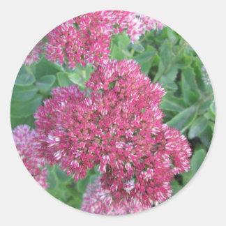 Flor rosada roja del racimo de Sedum de la alegría Pegatina Redonda