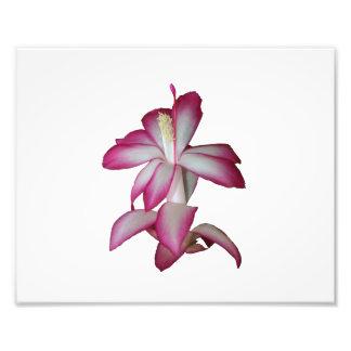 Flor rosada y blanca del cactus floración suculen fotos