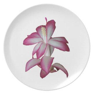 Flor rosada y blanca del cactus, floración suculen platos de comidas