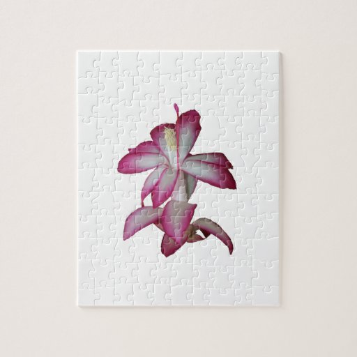 Flor rosada y blanca del cactus, floración suculen puzzles