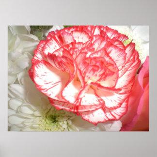 Flor rosada y blanca del clavel póster