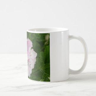 Flor rosada y blanca del Pelargonium en la floraci Tazas De Café