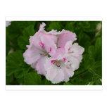 Flor rosada y blanca del Pelargonium en la Postal