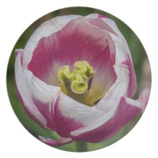 Flor rosada y blanca del tulipán platos para fiestas