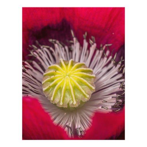 Flor rosada y púrpura macra de la amapola membrete